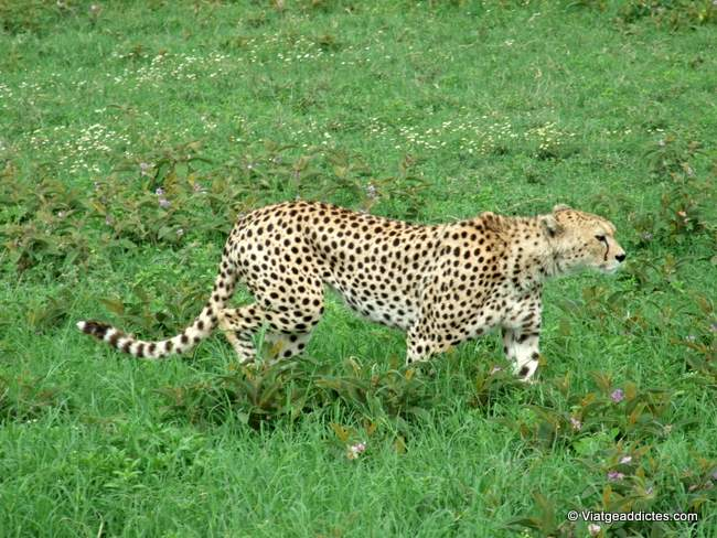 Guepard intentant despistar (P. N. Ngorongoro)