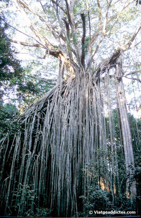 Imatge del Curtain Fig Tree (Yungaburra)