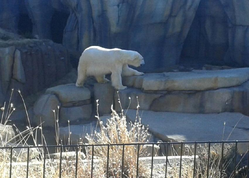 Oso polar en el Lincoln Zoo (Chicago)